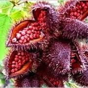 annatto plant